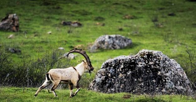 Yaban Keçisi Vuran Avcılara 16 Bin Lira Para Cezası