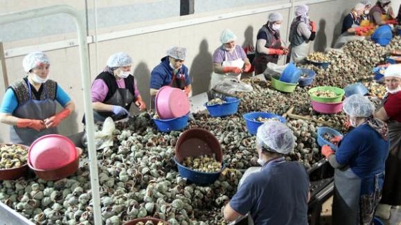 Akçakoca'da Toplanan Salyangozlar Doğu Asya'ya İhraç Ediliyor