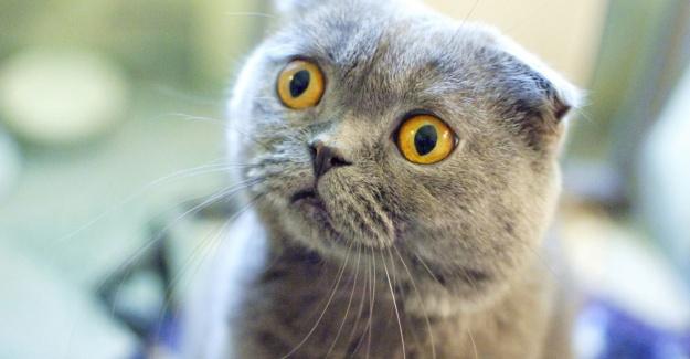 Scottish Fold Cinsi Kediler ve Özellikleri