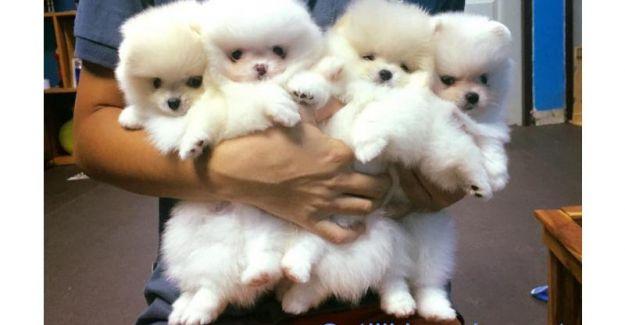 Bu Yılın Gözdesi Satılık Pomeranian Boo, Satılık Shih Tzu