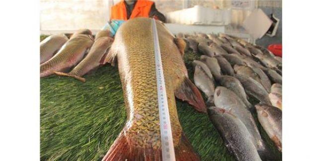 Elazığ Karakaya Barajında 1.65 M Uzunluğunda Turna Balığı Yakalandı