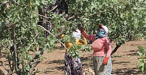 Siirt'te Üreticiler Fıstık Fiyatlarından Mutlu