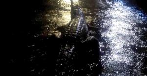 Avustralya'da Sel Suları Timsah ve Yılanları Şehre İndirdi