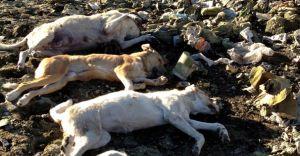 Erdemli'de Toplu Köpek Katliamı!