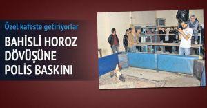 Horoz Dövüşüne Polis Baskını! 20 Göz Altı!