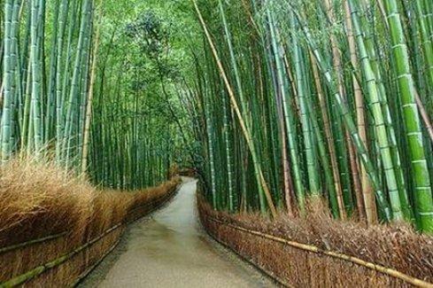 Japonlar bambu ağacından elektrik üretecek