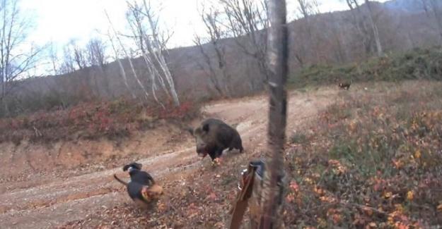 Avlamak istediği yaban domuzunun saldırısına uğrayan avcı ölümden döndü