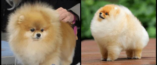 Pomeranyalı'nın (Pomeranian) Tarihçesi