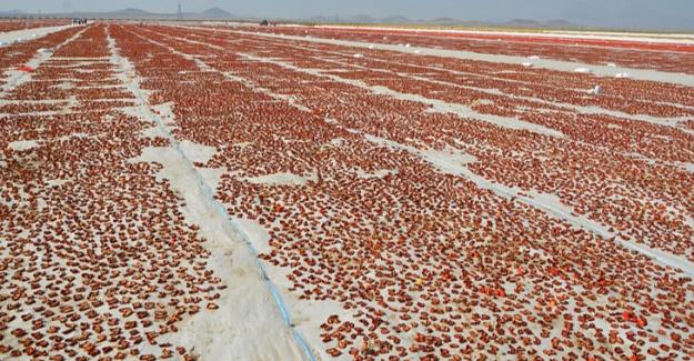 Ereğli'den 41 Milyon Liralık Domates Kurusu İhracatı