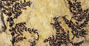 Dünyanın Bilinen İlk Çiçek Açan Bitkisi Bulundu