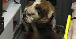 Bulldog Dehşeti! Ambulansı Kan Gölüne Çevirdi!