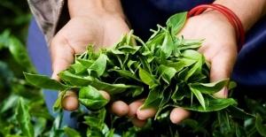 Türk Çayı İhracatı Yüzde 43 Arttı