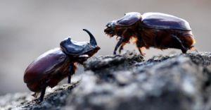 Gergedan Böceğini Yakalayana 38 Bin TL CEZA!