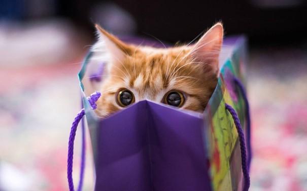 kedi, iç mekan, portakal, evcil kedi içeren bir resimAçıklama otomatik olarak oluşturuldu